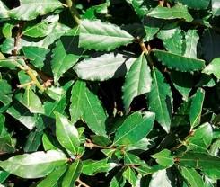 alloro foglie aromatiche