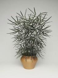 aralia elegantissima vaso