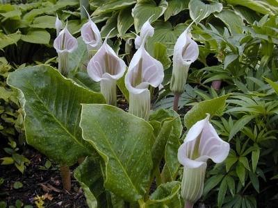 Lu0027 Arisaema è Una Pianta Geofita, Appartenente Alla Famiglia Delle Araceae.  A Tal Genere, Appartengono Numerosissime Varianti Che Spesso Troviamo.
