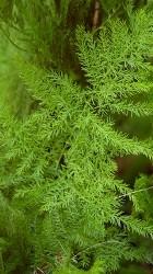 foglie cladodi