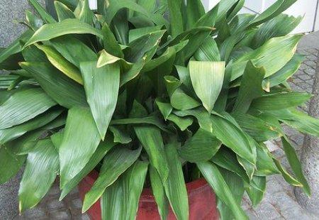 Liliaceae Aspidistra