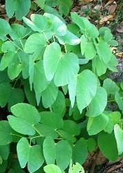 foglie bilobate