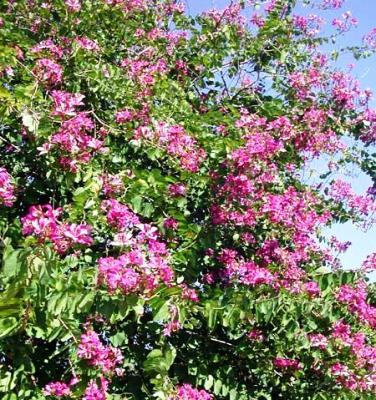 Bauhinia Fabaceae