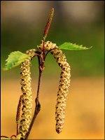 Betulla infiorescenze a spiga