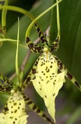 Brassia fiore forma particolare
