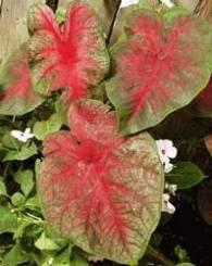 caladium Araceae