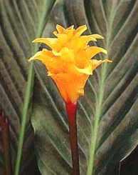 Calatea Marantaceae