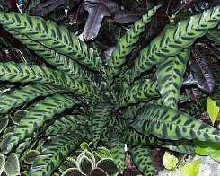 Calatea foglie forma allungata