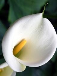 fiore ad imbuto