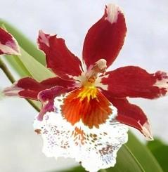 cambria fiori vistosi