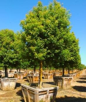 cinnamonum Lauraceae