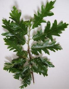 cerro foglie caduche