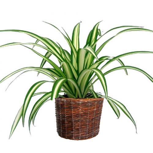 chlorophytum foglie