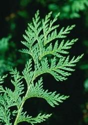 foglie squame