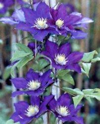 clematide fiori vistosi