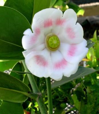 clusia fiore