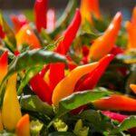 coltivazione peperoncino