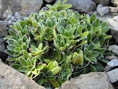 cotyledon foglie tondeggianti