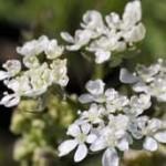 cumino fiori ombrelliferi