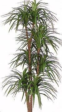 dracaena pianta