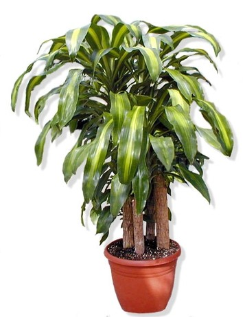 dracena femmina del drago