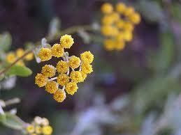 tanacetum balsamita fiori