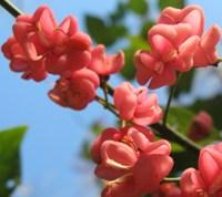 evonimo fiori porpora