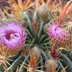 Ferocactus fiore a campanula