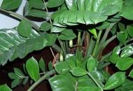 filodendro foglie