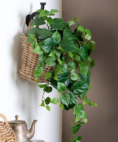 philodendron mantenimento