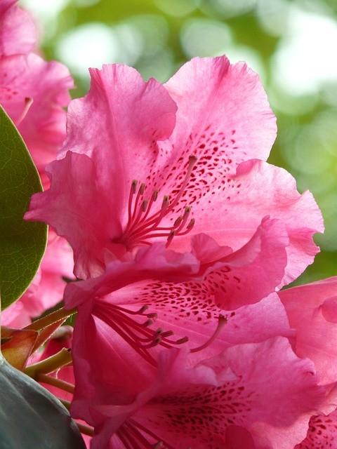 fiore di rododentro