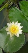 fiore di loto foglie idrorepellenti