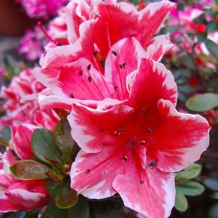fiore campana rododentro