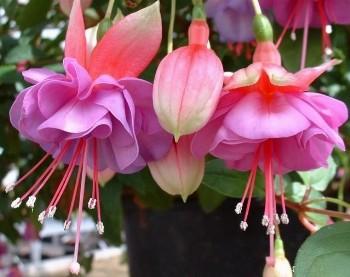fucsia fiore