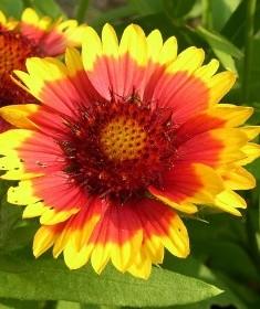 fiore simil margherita