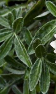 foglie sottili