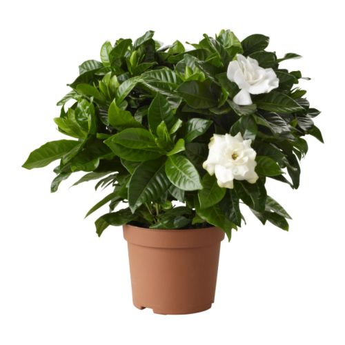 gardenia in vaso