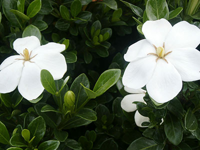 Gardenia sempreverde