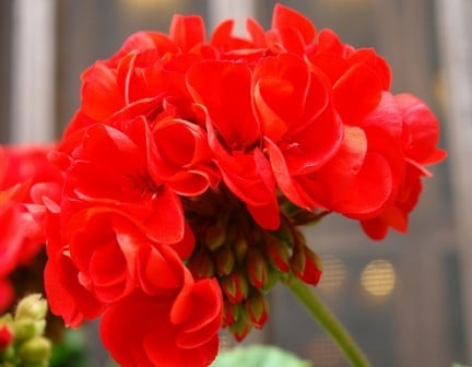 geranio rosso petali
