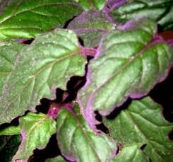 gynura foglie lanceolate
