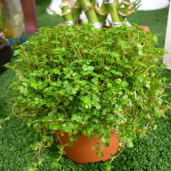 Helxine in  vaso