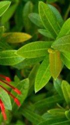 foglie ellittiche