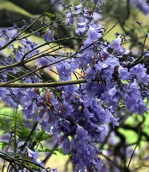 jacaranda foglie pinnate
