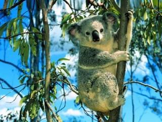 koala eucalipto