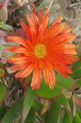 fiori capolini
