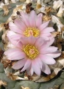 fiori simil margherite