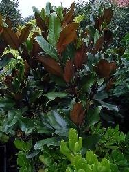 magnolia foglie ellittiche