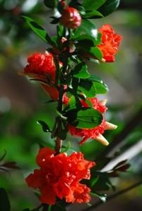 fiori rosso acceso
