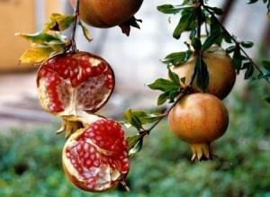 frutto con semi