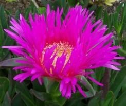 mesembriantemo fiori variegati